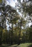 Équipement lumineux d'automne des arbres de bouleau dans la forêt images libres de droits