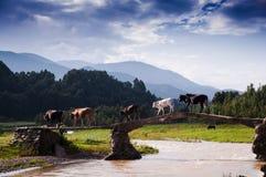 Équipes de bétail Image libre de droits