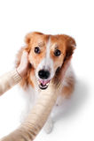 Équipez étreindre le chien de border collie, d'isolement sur le blanc Photographie stock libre de droits