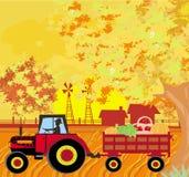 Équipez conduire un tracteur avec une remorque pleine des légumes dans l'autum Photo libre de droits