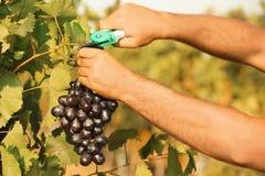 Équipez couper le groupe de raisins juteux mûrs frais photo libre de droits