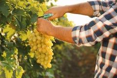 Équipez couper le groupe de raisins juteux mûrs frais avec le pruner photos stock