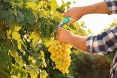 Équipez couper le groupe de raisins juteux mûrs frais avec le pruner image stock