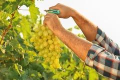 Équipez couper le groupe de raisins juteux mûrs frais avec le pruner image libre de droits