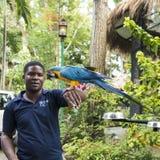 Équipez former les arums dans des jardins de Konoko, jamaïcains images stock