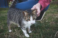 Équipez la caresse le chat extérieur dans l'arrière-cour sur l'herbe Photo libre de droits