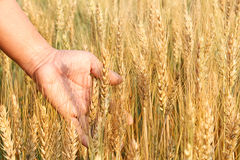 Équipez la main du ` s tenant des épis de blé dans le domaine de blé Photo libre de droits