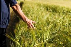 Équipez la main du ` s tenant des épis de blé dans un domaine de blé Images stock