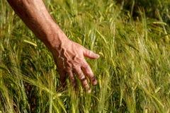 Équipez la main du ` s tenant des épis de blé dans un domaine de blé Photos libres de droits