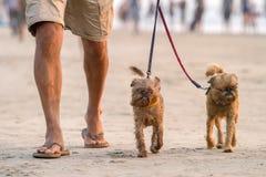 Équipez la marche sur la plage avec deux chiens drôles Images stock