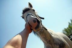 Équipez le cheval de course et de caresse de main sur le nez photographie stock