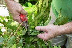 Équipez le jardinier coupant une certaine usine pour un beau jardin photo stock