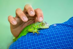Équipez le lézard vert de caresses, qui se repose sur sa main Amour à l'anim Images stock