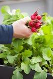 Équipez le radis de cueillette de jardinier du jardin végétal de récipient sur b images stock