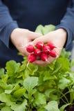 Équipez le radis de cueillette de jardinier du jardin végétal de récipient sur b photo stock
