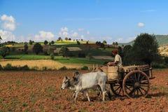 Équipez moissonner un champ dans Myanmar, utilisant un chariot de boeuf Photo stock
