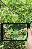 Équipez prendre la photo d'insecting l'insecte de pomme de terre du Colorado images stock