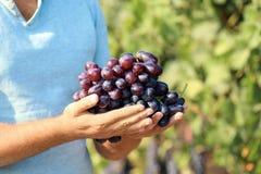 Équipez tenir le groupe de raisins juteux mûrs frais dans le vignoble photo libre de droits