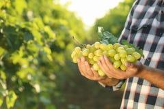 Équipez tenir le groupe de raisins juteux mûrs frais dans le vignoble photographie stock libre de droits