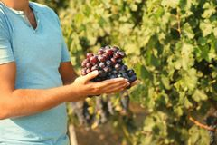 Équipez tenir le groupe de raisins juteux mûrs frais dans le vignoble image libre de droits