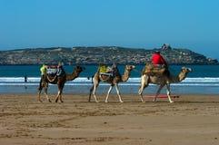 Équitation de chameau au Maroc Photo libre de droits