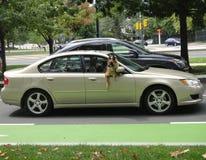 Équitation de chien dans la voiture Images libres de droits