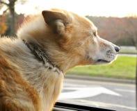 Équitation de chien dans la voiture regardant la fenêtre Image libre de droits