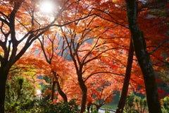 Érable à Kyoto Images libres de droits