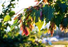 Érable argenté, saccarinum d'Acer Images stock