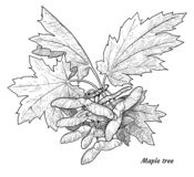 Érable, branche d'arbre d'acer, feuille, illustration de graine, dessin, gravure, encre, schéma, vecteur illustration libre de droits