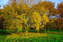 Érable branchu avec les feuilles tombées en Autumn Park Photos libres de droits