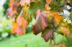 Érable coloré de lames en automne Photo libre de droits