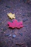 Érable coloré lumineux de beaucoup de feuilles se trouvant au sol Plan rapproché des feuilles jaunes, rouges, vertes et oranges d image stock