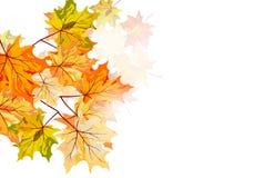 Érable d'automne Photos stock