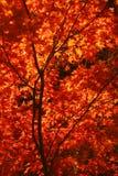 Érable d'automne photo libre de droits