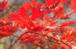 Érable d'automne Photos libres de droits