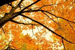 Érable d'automne Photographie stock