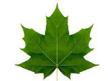 Érable de feuille d'automne sur un fond blanc d'isolement avec le chemin de coupure Photo libre de droits