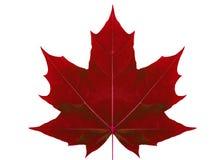 Érable de feuille d'automne sur un fond blanc d'isolement avec le chemin de coupure Image libre de droits