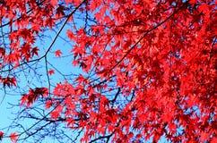 Érable de fleur, rouge Images libres de droits
