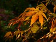érable de lames d'automne Images libres de droits