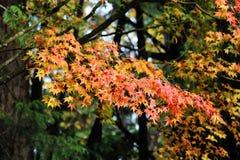 érable de lames d'automne Image stock
