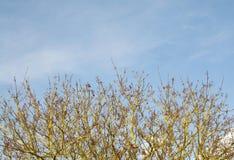 Érable de Norvège et ciel bleu Photographie stock
