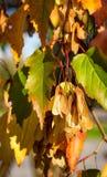 Érable de Tatarian, tataricum d'Acer Images stock