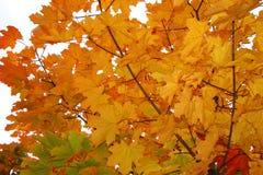 Érable en automne Image libre de droits