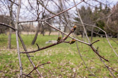 Érable en fleur au printemps image libre de droits