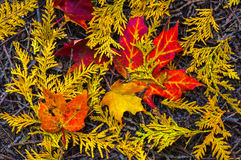 Érable et Cedar Leaves photos stock