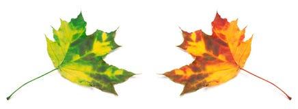 Érable-feuilles vertes et par orange jaunies Photographie stock