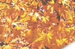 Érable fleurissant, jaune images libres de droits