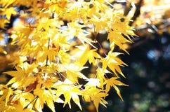 Érable fleurissant, jaune photos libres de droits